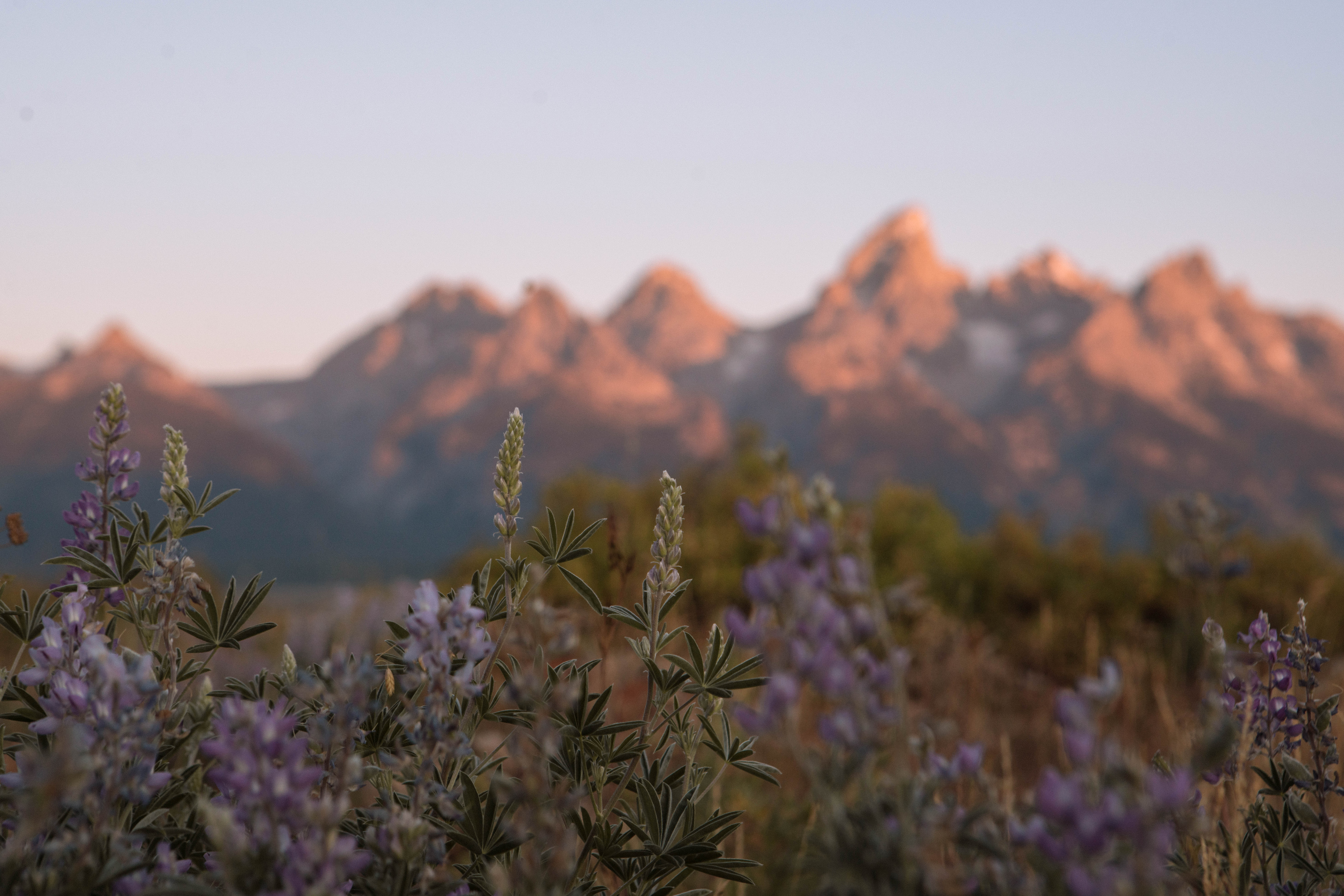Summer in Jackson, WY with wildflowers before the Tetons