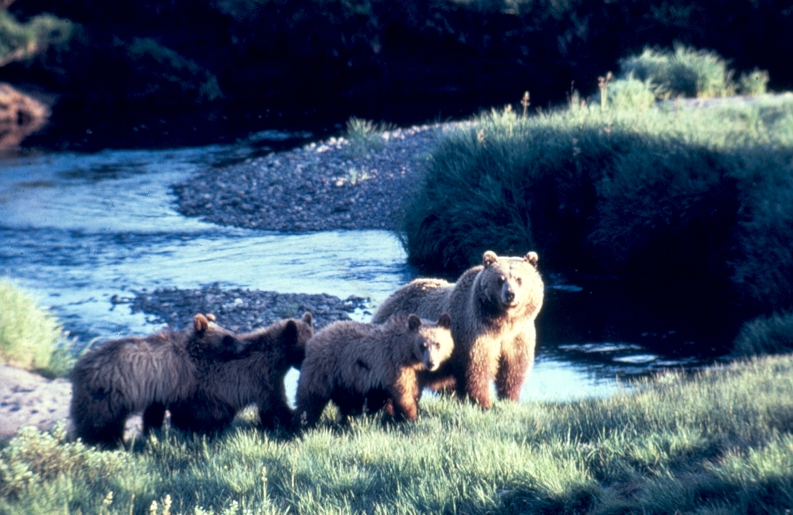 Grizzly Bear and Three Cubs in Grand Teton National Park